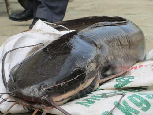 Cá chiên sông Gâm Cao Bằng