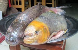 Cá Dầm xanh, Anh Vũ tiến vua Na Hang