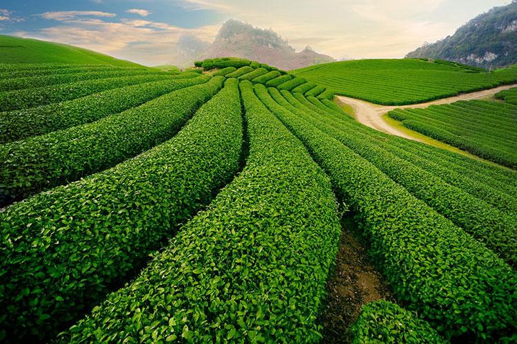 Đồi chè Đông Giang Khu di tích lịch sử danh thắng quốc gia hồ Phú Ninh