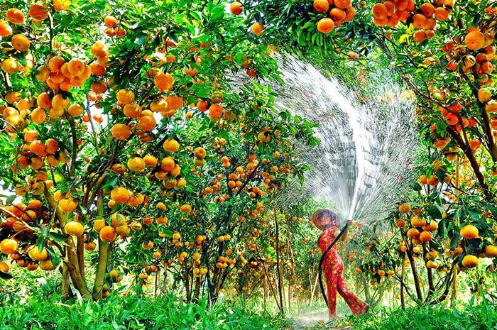 Kết quả hình ảnh cho vườn trái cây cái bè