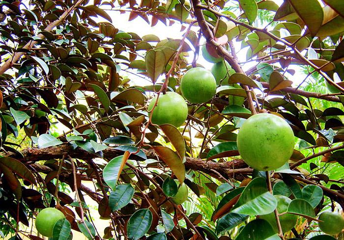 Vườn cây trái Vĩnh Kim Tiền Giang