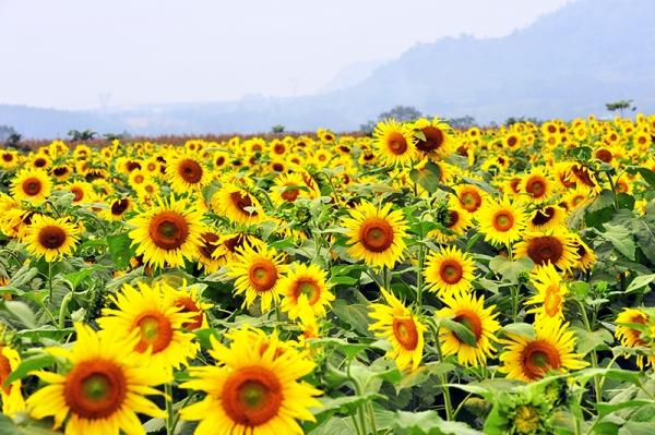 Vườn hoa hướng dương